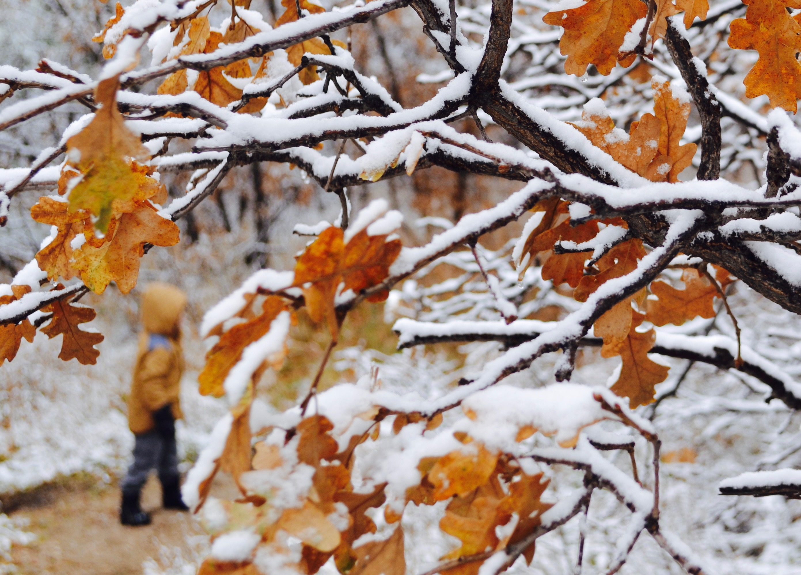 A young boy walks on a trail through snow and trees with fall colored leaves at Thanksgiving time.